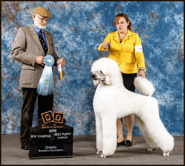 Welcome to the New Home of Classique Standard Poodles